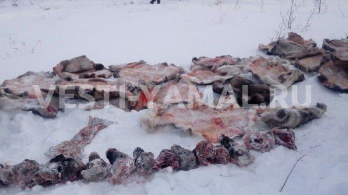 Десятки оленей зарезаны в Приуралье