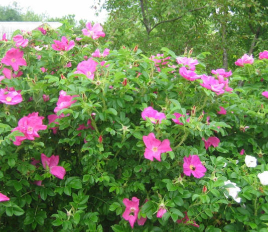 шиповник морщинистый (Rosa rugosa)